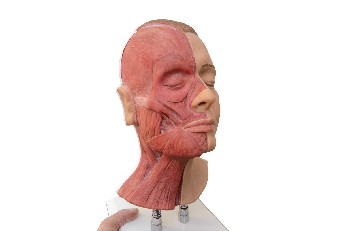 simulador para inyecciones faciales con musculos